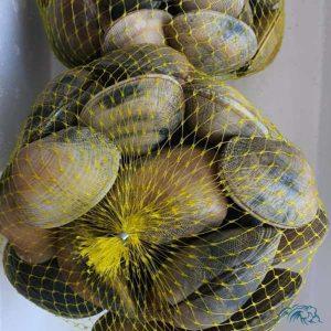 almeja fina especia gallega L